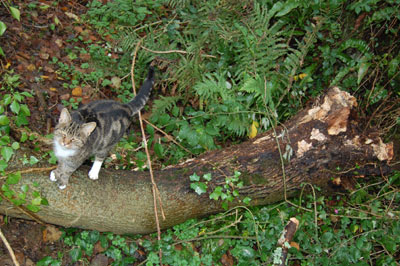 Fallen ash tree and the cat from the barn