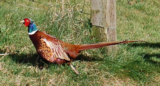 Peter the pleasant pheasant