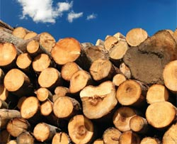 Wood logs seasoning in a pile